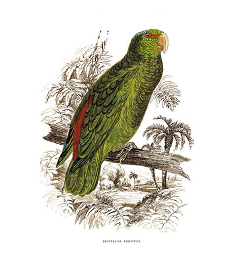 Ünnepélyes Kajdács. Amazon Papagáj. Publikán