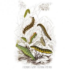 Pillangó hernyók és lárvák