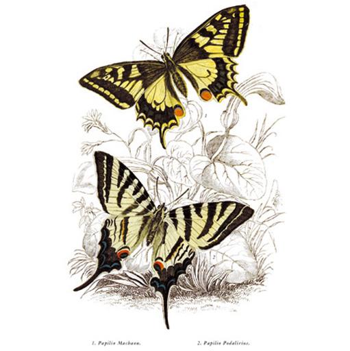 Fecskefarkú Pillangó (1) Kardos Pillangó (2)