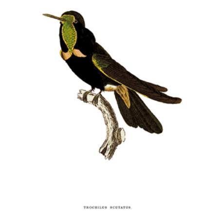 Csarmolt Delice. Kolibri