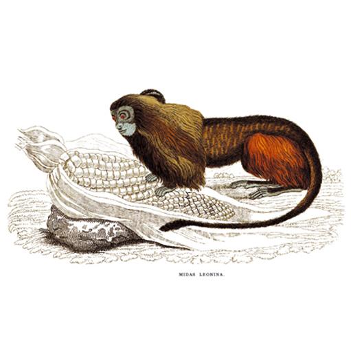 Oroszlánféle Sörénc. Oroszlán majmocska