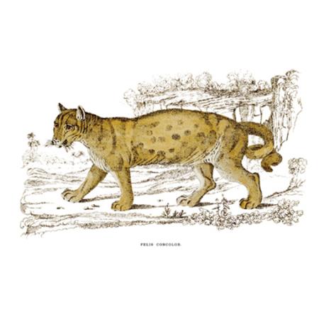 Egyszínű Macska. Puma