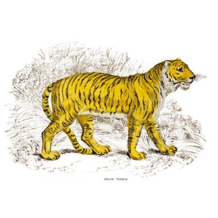 Tigris Macska
