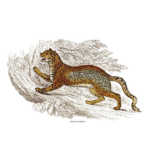 Diard' Macskája, Ködfoltos Párduc