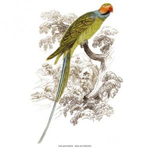 Maiakkai Hajdanár, Papagáj