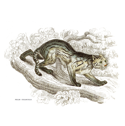 Kolokoló Macska, Leopárd