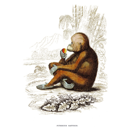 Szatyros Utáncs. (Vörös) Orangutang. Orángutáng Majom