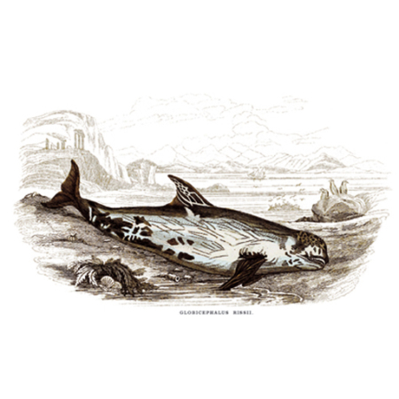 Gömbölyűfejű delfin (Rissó' Gömbfejű)