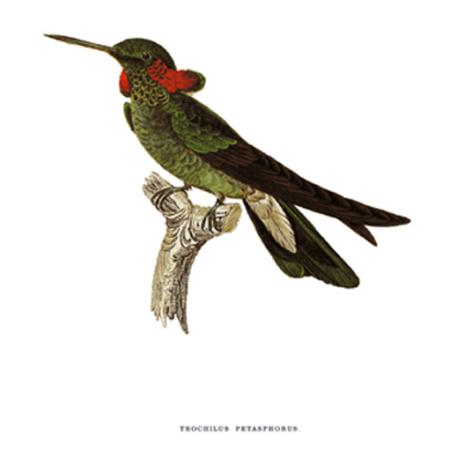 Kalaphorda Delice. Kolibri