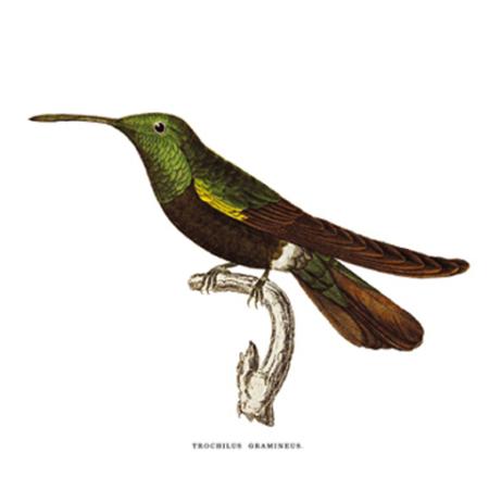 Füi Delice. Kolibri