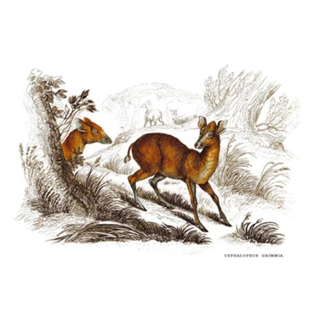 Grimmia Fejbötök. Antilop